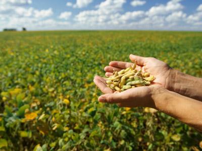 Non-GMO soybeans